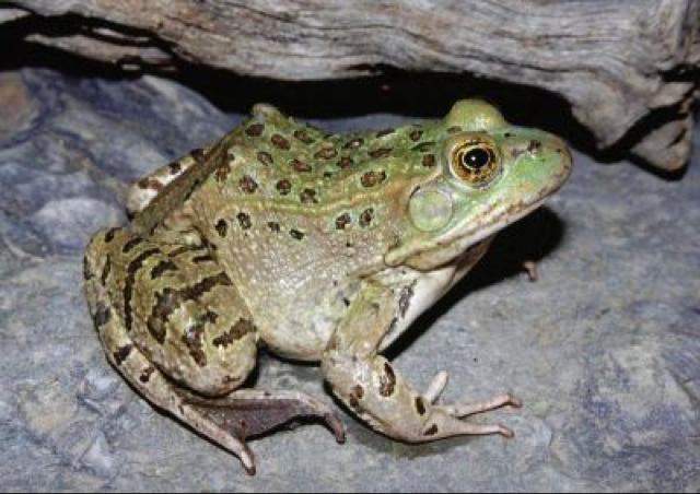 Extinct frog rediscovered